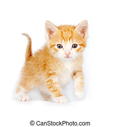 Small red curious kitten