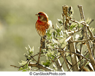 Small Red Finch perched on blooming Lilac bush