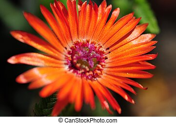 Small Red Flower in Macro Photography. Flowers Photo ...