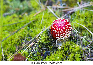 small red fly agaric growing in forest