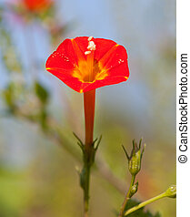 Small Red Morning Glory (Ipomoea coccinea) blooming in a...