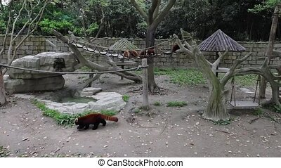 Small Red Panda in Shanghai. Slow Motion Footage.