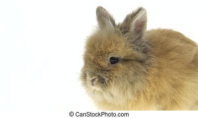 Small red rabbit isolated on white background. Close up.