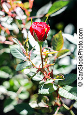 small red rose growing in a green bush