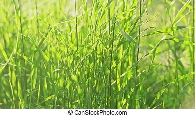 Small reed grass swaying in the wind - Young reed grass...