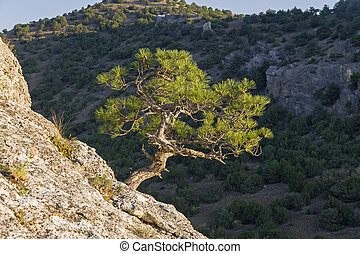 Small relic pine on the background of a dark wooded slope
