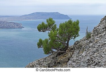 Small relict pine tree on a rocky cliff on the background of the sea. Crimea.