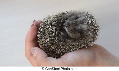 Small rolled young hedgehog held in human hands - Small...
