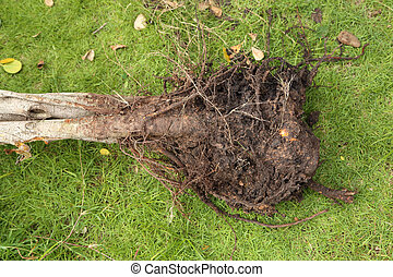 small roots with soil of tree