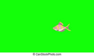 Small Rose-yellow striped Aquarium Fish Chroma Key - Small...