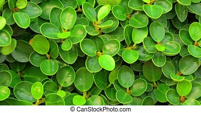 Retreating zoom clip shows the small, round, glossy, cupped leaves of an English Banyan hedge in closeup. 4k video