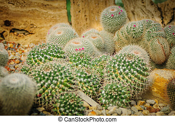 Round cacti with pink blooms numerous white round cactus with one small round young cactus with little pink flowers in greenhouse mightylinksfo