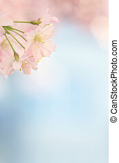 Small sakura blossom tree blooming with empty blue background
