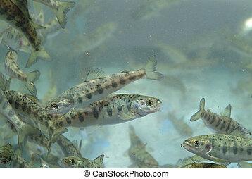 Small salmon swimming - Aquaculture industry. Small salmon...