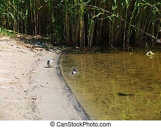Sandpiper wading bird at river shore - Small Sandpiper...