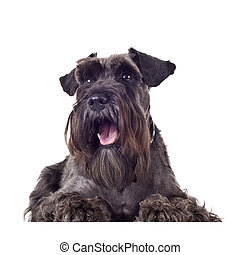 small schnauzer (1 year) in front of a white background looking at something in the upper corner and being surprised