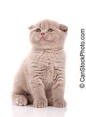 Small Scottish fold kitten