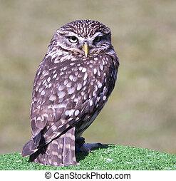 small screech owl on bird show