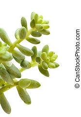 small sedum plant isolated on white - small green sedum...