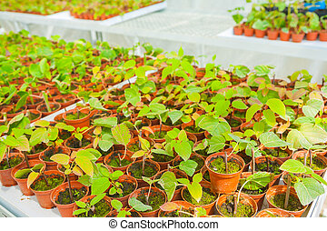small seedlings in greenhouse