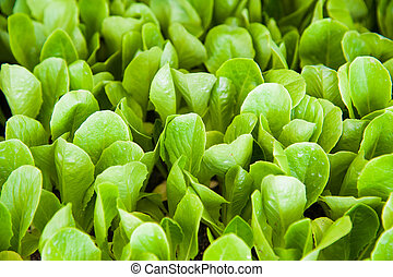 Small seedlings of lettuce
