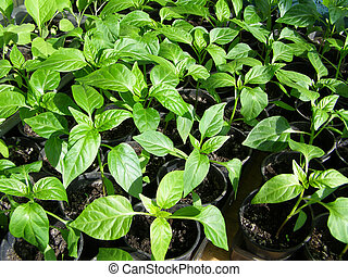 small seedlings of peppers