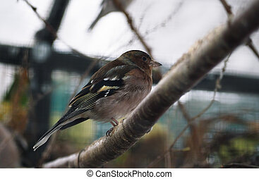 Small serious grey bird looking like sparrow