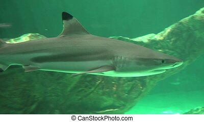 Small Shark Swimming With Fins And Tail