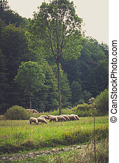 small sheep flock grazing on meadow near the wood