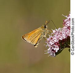 Small Skipper Buttterfly. - A Small Skipper feeding on a...