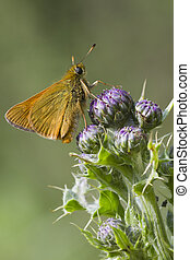 Small Skipper ( Thymelicus sylvestris ) perched on a thistle