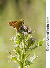 Small Skipper (Thymelicus sylvestris) - Small Skipper ...