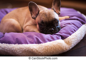 small sleeping French bulldog, puppy