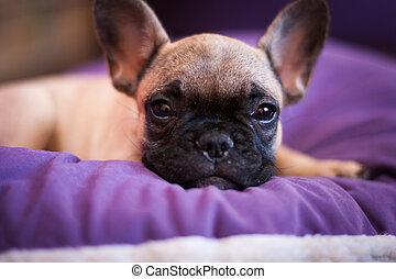 small sleeping French bulldog, puppy