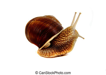 snail isolated on the white background