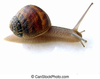 Small snail, photo focus on head and house
