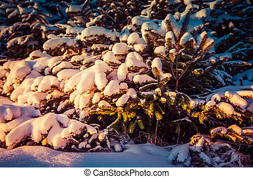 Small snow-covered Christmas trees in the dawn rays of the sun
