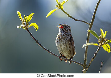 Small song sparrow on branch.