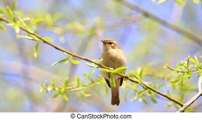 small songbird Chiffchaff jumping and singing in the spring leaves