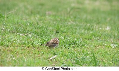 Small sparrow jumping and scavenging insects in a lawn in...