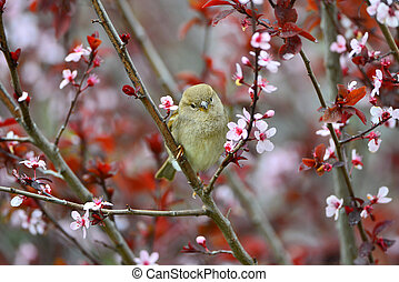 Small sparrow on a Japanese flowering plum tree