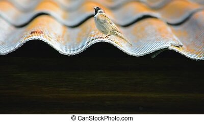 Small sparrow on roof - Small sparrow on the roof