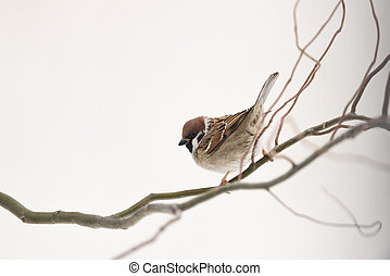 Small sparrow on twig close up