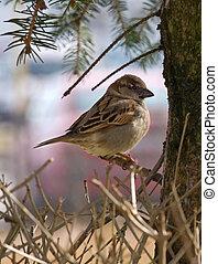 Small Sparrow