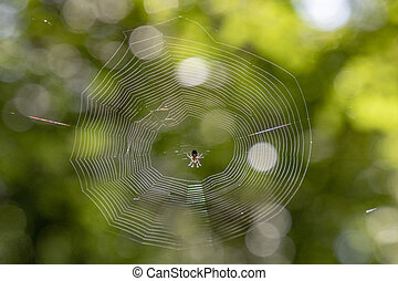 spider in her net in the forest