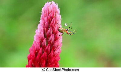 Small spider on a flower - Small spider on a Crimson clover...