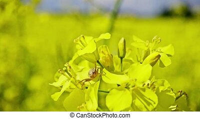 Small spider on the flowers of rapeseed, slow motion