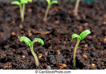 Small sprouts of tomatoes in the soil in a container closeup. Little seedlings plant