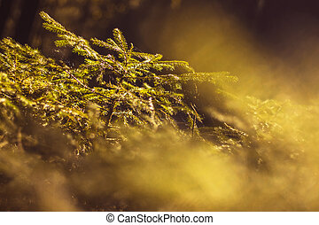small spruce - close up view of a young evergreen tree in the dark forest, under the glare of the sun