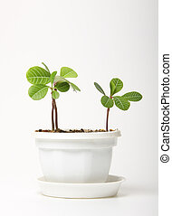 small spurge in a pot, isolated